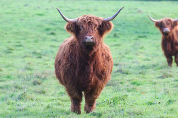 Photo sur Plexiglas Vache de Montagne Highland Cattle