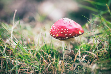 Red mushrooms with white dots in grass