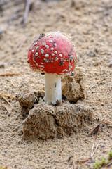 Agaric fly mushroom