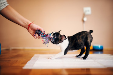 Little dog pulling toy while girls hand holding another side. Boston terrier.