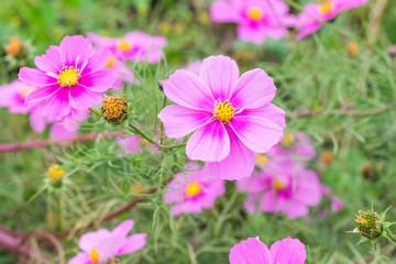 Beautiful Pink cosmos flower blooming  in  spring day  by Macro lens .