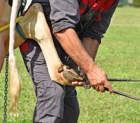 Veternarian heals the hood of a cow