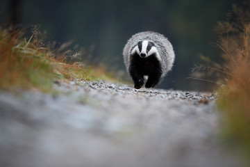 Running  European badger, Meles meles. Ground level photo of black and white striped forest animal running directly at camera on a gravel road. Rare moment, shy nocturnal animal during rainy day.
