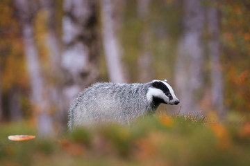 European badger, Meles meles, low angle photo of male in rainy day. Black and white striped forest animal  looking for prey in colorful autumn birch forest before the winter sleep period. Czech forest
