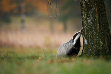 European badger, Meles meles, low angle photo of big male in rainy day, looking for the larvae in the bark of birch. Badger in colorful autumn birch forest. Powerfull nocturnal animal, czech highland.