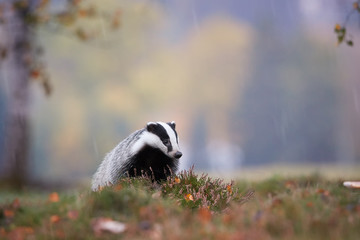 European badger, Meles meles, low angle photo of male in rainy day. Black and white striped forest animal  looking for prey among colorful blueberries before the winter sleep period. Czech forest.