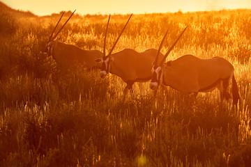 Three large antelopes with spectacular horns, Gemsbok, Oryx gazella, walking through arid savanna in Kgalagadi park against dramatic sunset, wildlife photography, Kalahari desert, South Africa.
