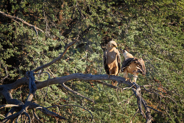 Pair of large raptors, Tawny eagle, Aquila rapax, in mating period, female is calling male, perched on branch. Wildlife photography in arid Kgalagadi transfrontier park, Botswana.