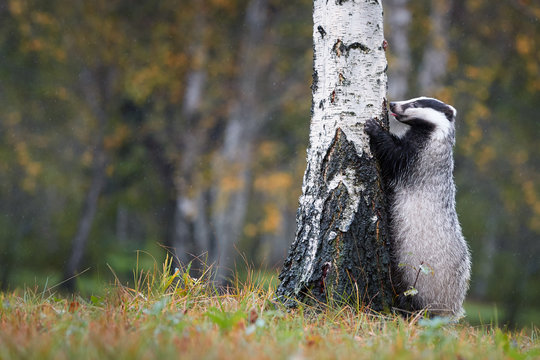 European badger, Meles meles, low angle photo of big male in rainy day, on the back legs, leaning against the birch and looking for the larvae in the bark. Autumn in european forest. Isolated badger.