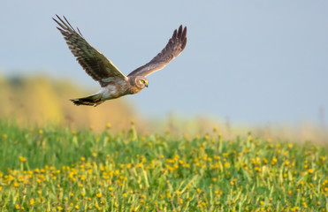 Second year Hen Harrier flying over the blossoming field Fototapete