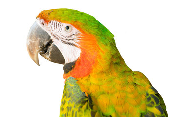Parrot isolate on white background.