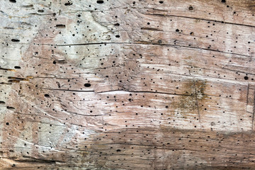 On a cut of a tree holes from beetles. Many points