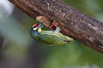 Coppersmith Barbet Megalaima haemacephala Beautiful Birds of Thailand