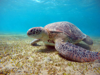Underwater scenery with sea turtle in blue water