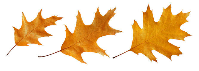 Set of American oak leaves isolated on a white background.
