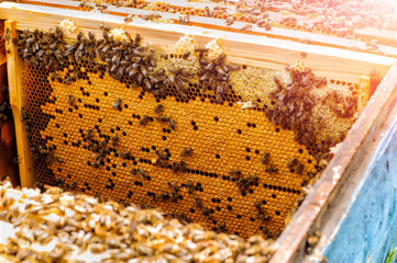 Bees in the hive on the honeycombs. Cell with bee .