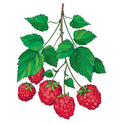 Vector bunch with outline Raspberry or Rubus with red berry and green leaves isolated on white background. Drawing of raspberry branch with fruit in contour style for summer and organic food design.