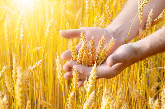 Wheat ears and the hand. Harvest concept