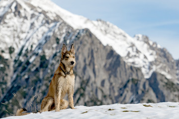 Dog in the snowy mountains - purebred Berger de Picardie