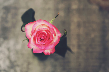 Pink rose on gray background
