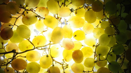 Bunch of green grapes. Ripe fruit up to the light.