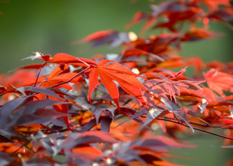 Autumn colorful leaves on Japanese Maple tree.  Beautiful vibrant red leaves, fall foliage.