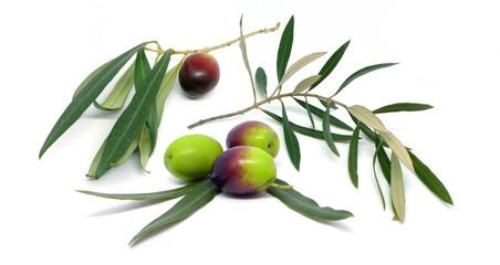 Ramoscello di ulivo con una oliva