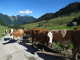 放牧地の牛の群れ Wall mural