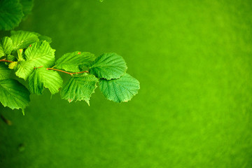 hazelnut leafs in front of duckweed river