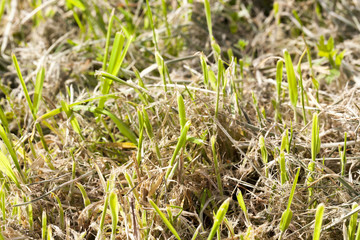 Mowed grass, close-up