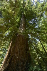 the majestic trees of the Sequoia forest near Santa Cruz, California; the sheer size of these Sequoia trees is humbling and awe-inspiring