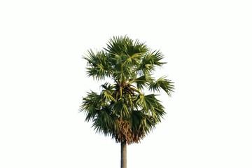 Single palm tree isolated on white background.