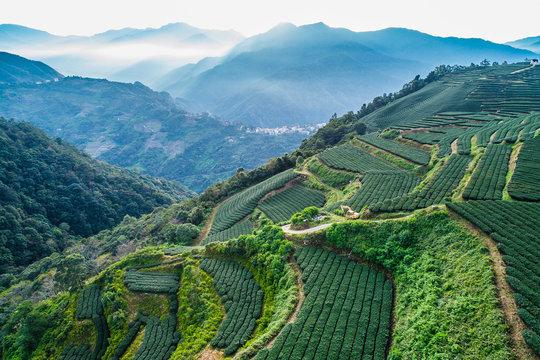 tea plantation in high mountains