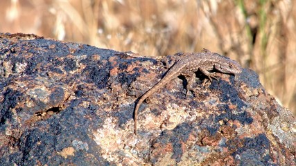 Desert lizard wildlife 2 Painted Hills Oregon 23