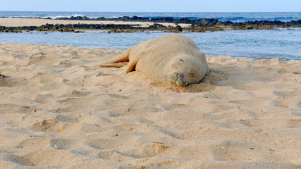 Sleeping Endangered Hawaiian Monk Seal on Poipu Beach in Kauai