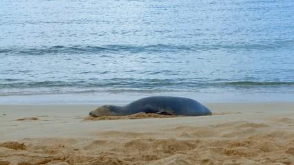 Endangered Hawaiian Monk Seal on Poipu Beach in Kauai by shoreline 2