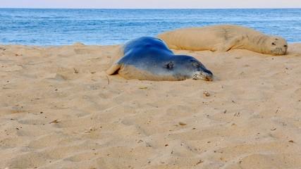 Endangered Hawaiian Monk Seal on Poipu Beach in Kauai looking at camera
