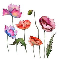 Wildflower poppy flower in a watercolor style isolated. Full name of the plant: poppy. Aquarelle wild flower for background, texture, wrapper pattern, frame or border.