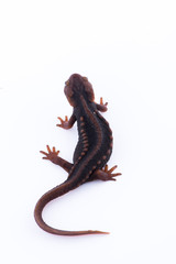 Salamander (Himalayan Newt) on white background and Living On the high mountains at doiinthanon national park,Thailand