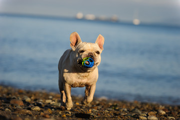 French Bulldog running with ball on water shore