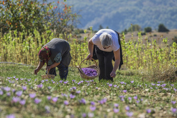 Workers with basket gathering saffron flowers during saffron harvesting season