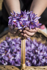 Worker holding saffron flowers in his hands over a basket full of saffron flowers