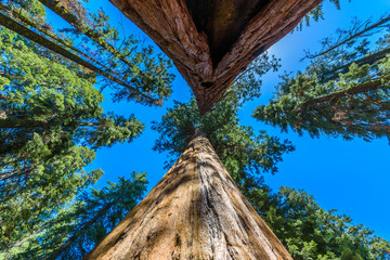 Giant sequoia forest - the largest trees on Earth in Sequoia National Park, California, USA Wall mural