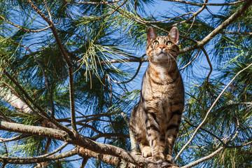 Gato de Bengala en las ramas de un pino. Bengalí.