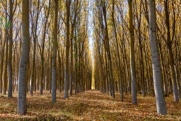 Bosque de chopos en otoño. Populus canadensis.