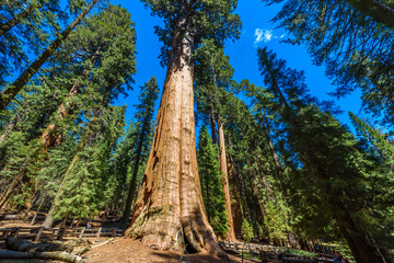 General Sherman Tree - the largest tree on Earth, Giant Sequoia Trees in Sequoia National Park, California, USA