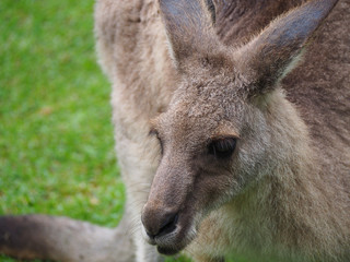 Close up head shot of a wid Australian kangaroo
