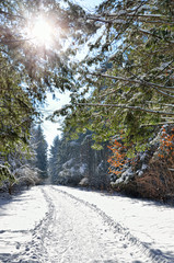 Sunlight among the branches of trees in snowy  winter forest.