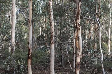 Eucalyptus tree forest background