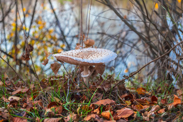 closeup umbrella mushroom in a  autumn forest